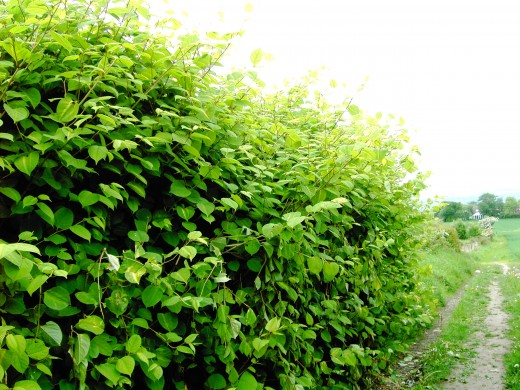 Japanese knotweed is much more difficult to eradicate. Photograph by D.A.L.