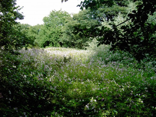 Four years ago this was grassland that had several native species occurring there. Now it is over run by Himalayan balsam. Photograph by D.A.L.