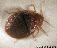 A bed bug before feeding on blood