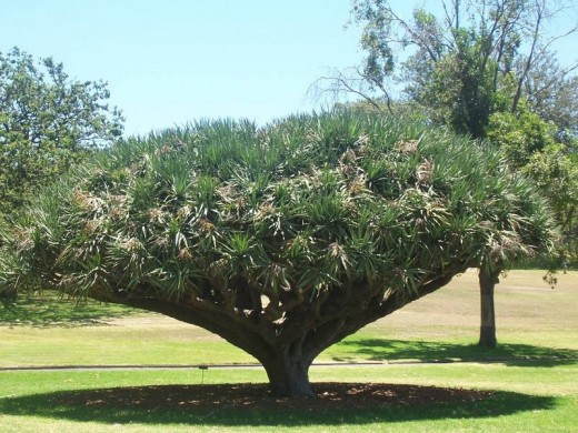 The Dragon Tree is a native tree of the Canary Islands, Cape Verde Islands, Madeira and Morocco. The Guanche people of the Canary Islands used the sap for mummification purposes.