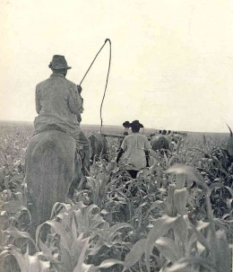 Farm labour at Bethal (Eastern Transvaal) in the 1950s. Photo from Drum Magazine