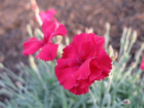 A variety of dianthus