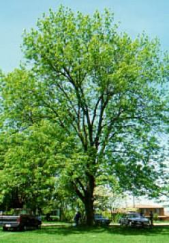 Woodworking Properties of Ash