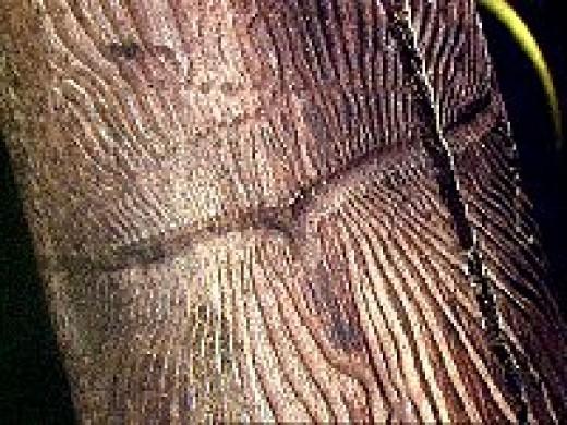 Feeding injury of Ash bark beetle