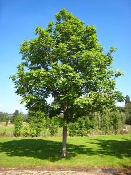 Fraxinus excelsior tree
