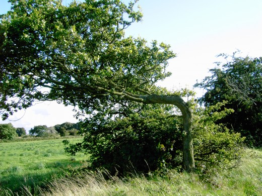 Oak tree its shaped designed by the relentless winds. Photograph by D.A.L.