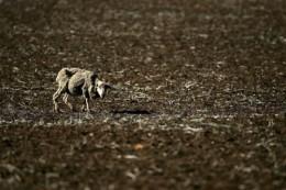 In Australia, climate change is causing habitat destruction.