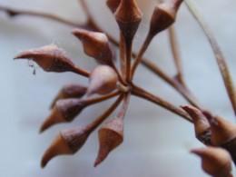 Eucalyptus flower bud