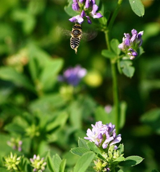 Bee on Alfalfa flower.