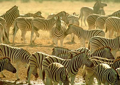 Zebras are but one animal of the many species hoarded by the African Continent.