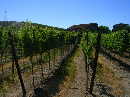 Orderly rows of grapevines at Murrieta's Well Winery (photo credit:  M. Thomas)