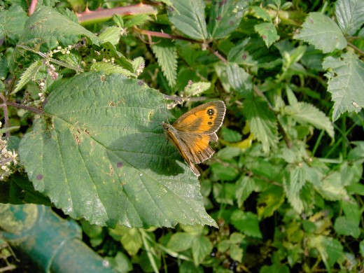 Gate keeper butterfly enjoying the mellow spell. Photograph by D.A.L.