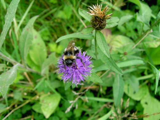 Bumble bees like to visit the thistle like flowers of knapweed. Photograph by D.A.L.