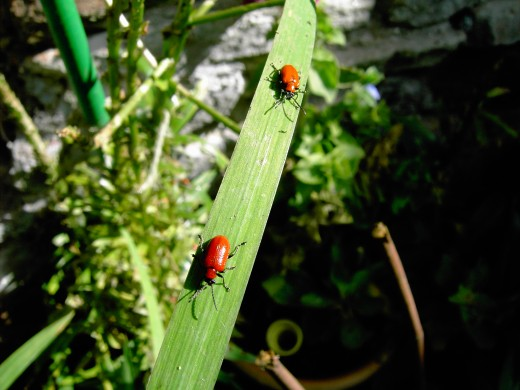 These attractive lily beetles can cause serious damage to the foliage oflily plants. Photograph by D.A.L.