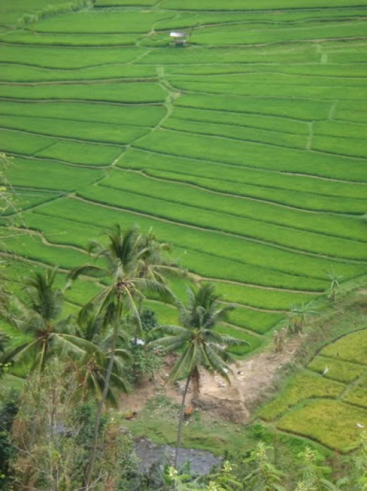 Rice Fields.  Photo courtesy of photobucket.com