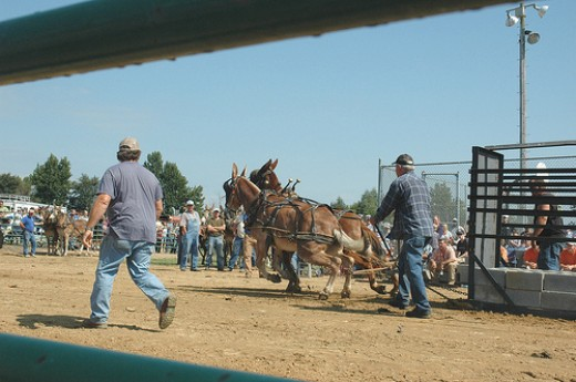 Mule Pull Competition atIder Mule Day-Ider AL