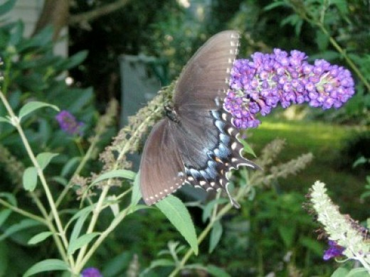 Butterfly bushes attract Spicebush and Eastern Tigertail, as well as the Monarch.