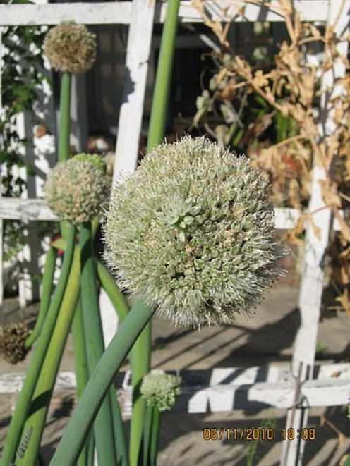 how to get green onion seeds