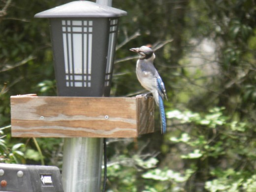 blue jay waiting for the feeder to be refilled
