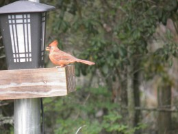 A red bird visiting the feeding trough