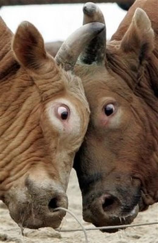 Don't Be Bullheaded!