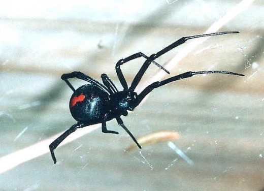 The Red Back, very common Poisonous Spider