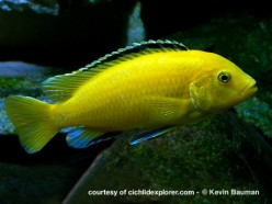 Colorful african tropical fish