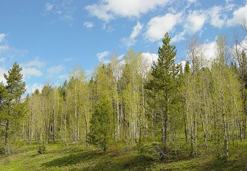 Aspen Grove in Shoshone National Forest, Wyoming