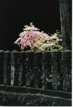 Cherry blossom, Futaarasan Shrine.