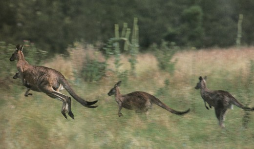 Kangaroos are quite a spectacle to watch as they Hop at full speed in the Australian bush.