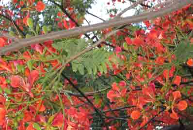 Branches of a gul mohar tree in bloom
