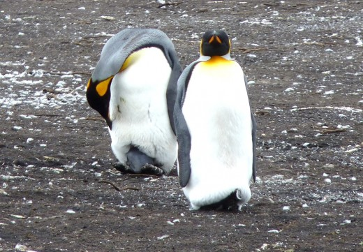 A King Penguin checking on the egg between its feet