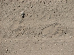 Left front and rear tracks of black bear (Ursus americanus) in Book Cliffs of central eastern Utah Photo: K Young