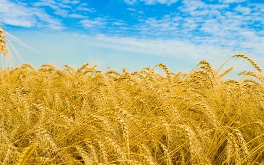 Golden Wheat, from wallpaperstock.net