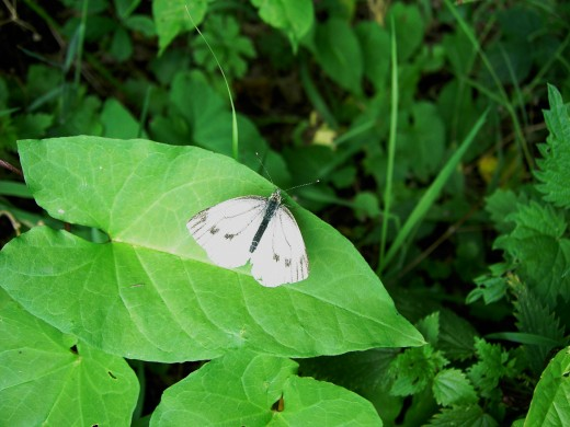 Cabbage white. photograph by D.A.L.