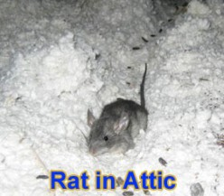 Get Rid of Rats -  Do It Yourself