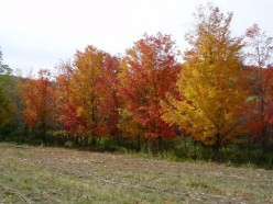 Prepare Maple Trees for Winter