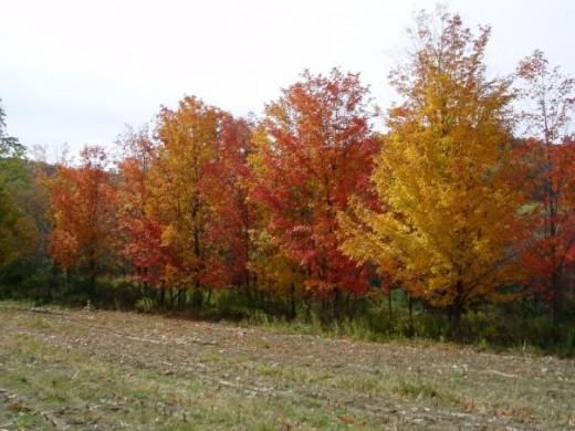 Fall maple tree sugarbush. Photo by GerberInk