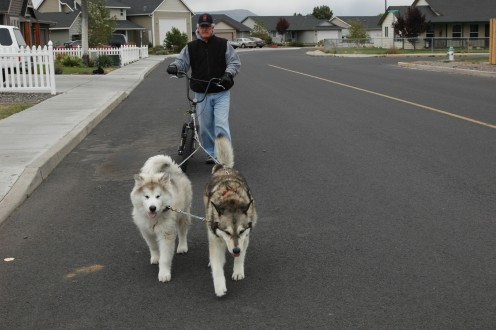 As Inez says, a cruisin' dog is a happy dog! These are mine cruisin' (urban mushing training)