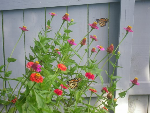 Monarch Butterflies on Zinnia Flowers