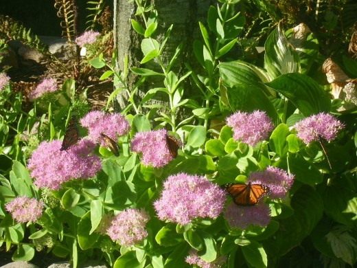 Four Butterflies on the Sedum