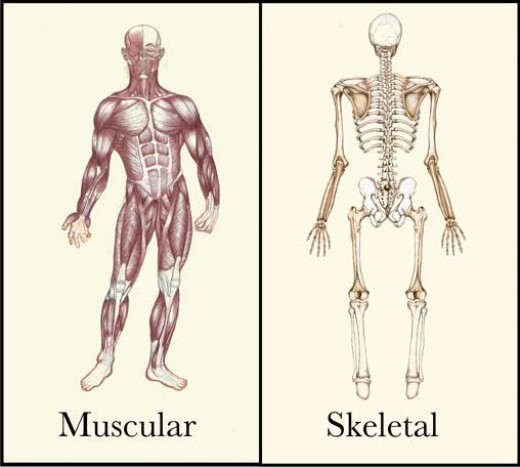 relationship between urinary system and skeletal