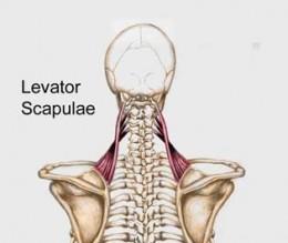 Levitor Scapulae