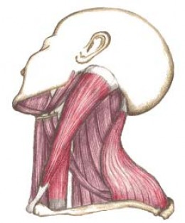 Sterno Cleidomastoid