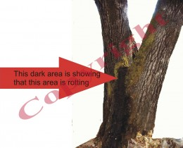 Darkened area shows where rift is inside of tree which needs support