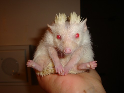 7 weeks old Albino Hedgehog