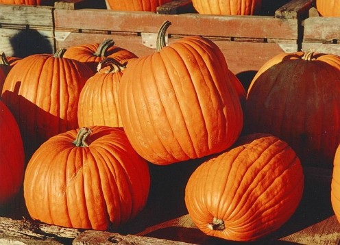 Typical orange pumpkins.