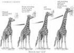 The giraffes get longer necks the more they stretch them
