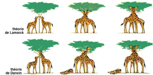 Note the animals with shorter necks die out