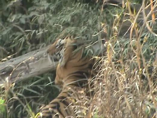 Tiger Territory Marking
